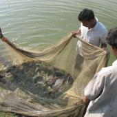 Farm Fish Catch - Farm Fish Catch