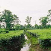 Tea Garden Beside The College - Tea Garden Beside The College